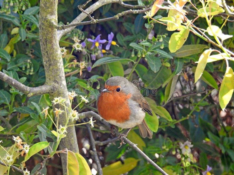 Oiseau rouge de merle de sein de printemps été perché dans l'arbre photos stock