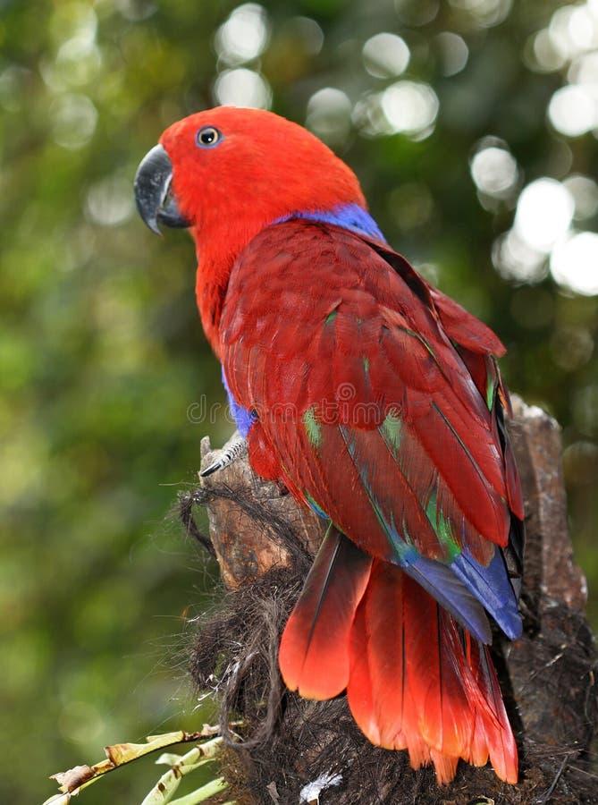 Oiseau rouge de perroquet photographie stock libre de droits
