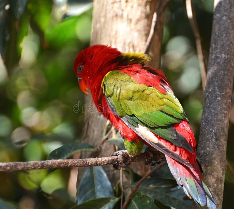 Oiseau rouge de perroquet photo libre de droits