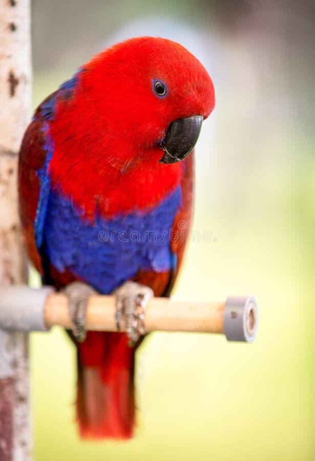 Oiseau rouge de perroquet photo stock