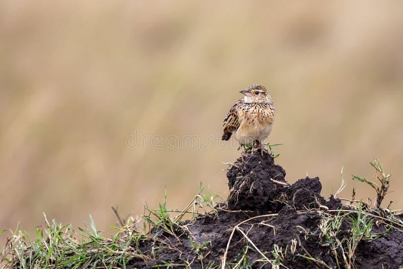 Oiseau rufous-Naped, Kenya, Afrique photos libres de droits