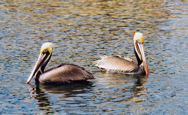 Oiseau sauvage San Diego Bay Animal Feathers de pélican de Brown photo libre de droits