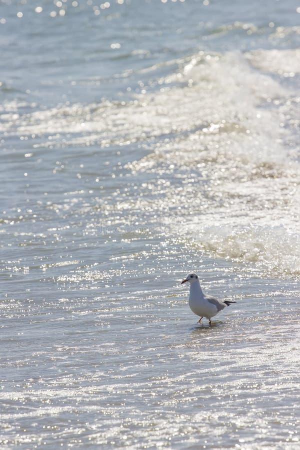 Oiseau sauvage sur la plage roumaine image stock