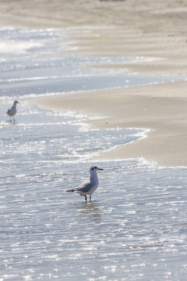 Oiseau sauvage sur la plage roumaine photo stock