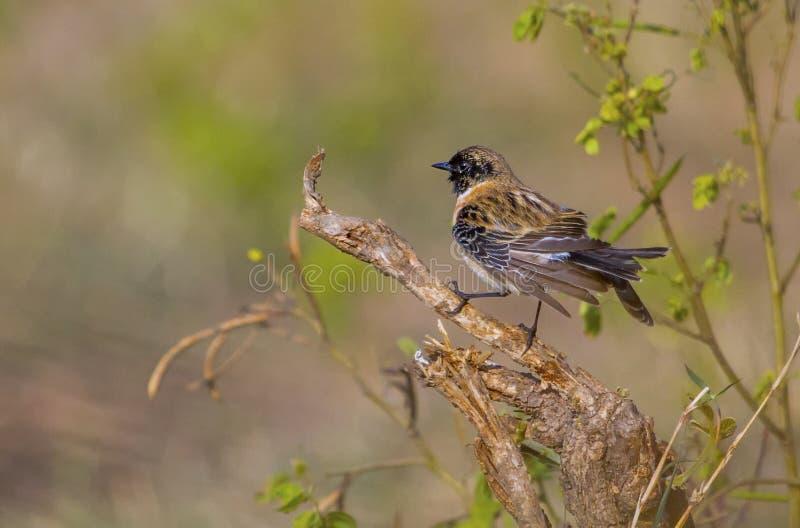 Oiseau sibérien de traquet sur un buisson photographie stock libre de droits
