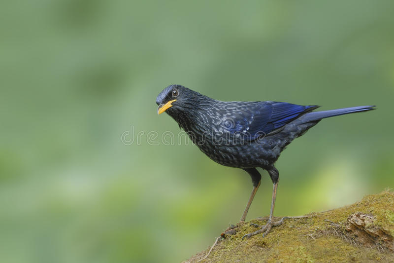 Oiseau siffleur bleu de grive étant perché sur la roche photos stock