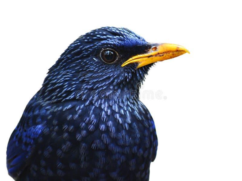 Oiseau siffleur bleu de grive photographie stock