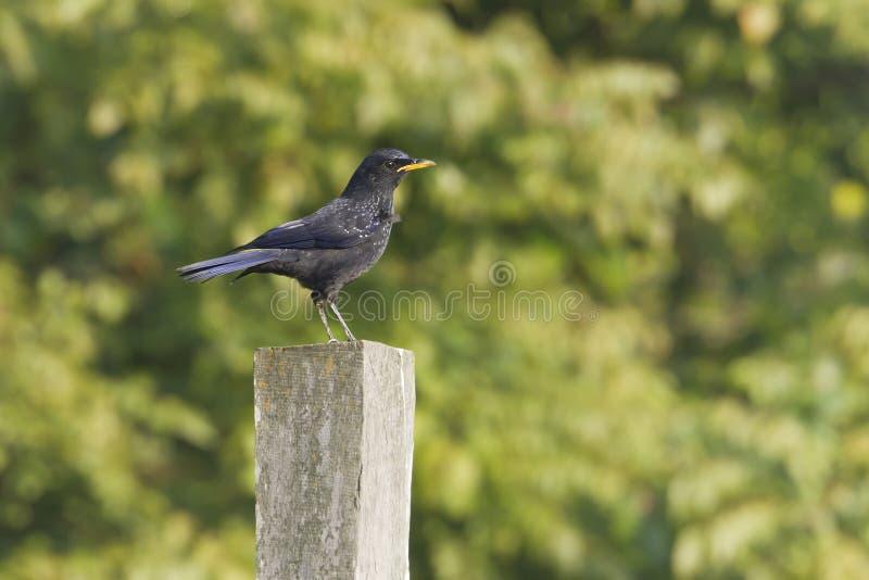 Oiseau siffleur bleu de grive au Népal photos libres de droits