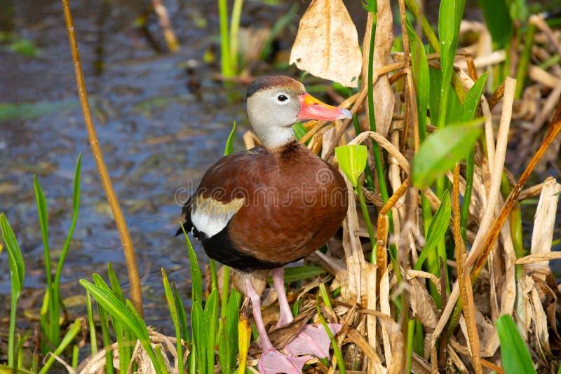 oiseau siffleur Noir-gonflé de canard florida LES Etats-Unis image stock