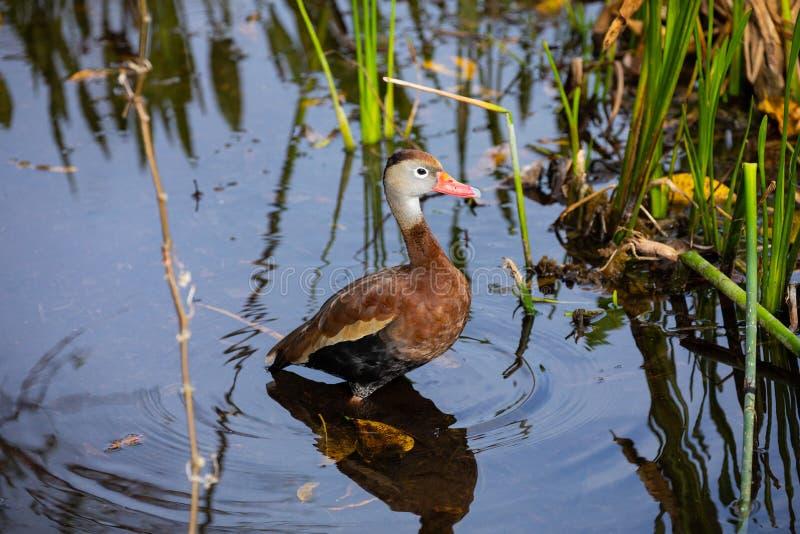 oiseau siffleur Noir-gonflé de canard florida LES Etats-Unis photographie stock libre de droits