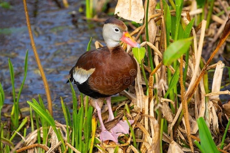 oiseau siffleur Noir-gonflé de canard florida LES Etats-Unis photographie stock