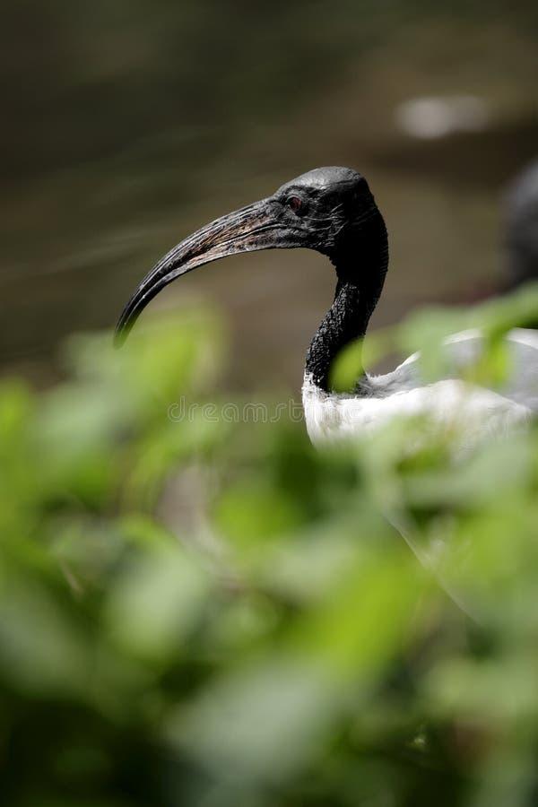 Oiseau simple d'IBIS sacré dans le jardin zoologique image libre de droits