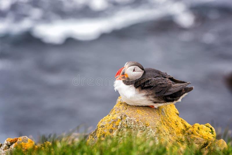 Oiseau simple de macareux atlantique sur la pierre sur le fond d'océan, animaux dans le sauvage image libre de droits