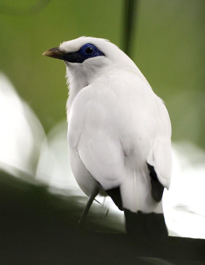 Oiseau simple du ` s Mynah de Rothschyld dans le jardin zoologique image libre de droits