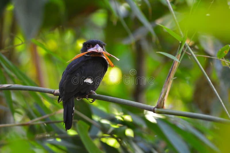 Oiseau sombre de broadbill photographie stock libre de droits