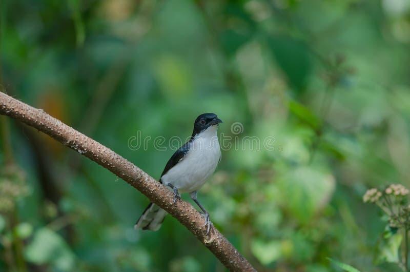 oiseau soutenu par foncé de melanoleucus de Malacias de Sibia images libres de droits