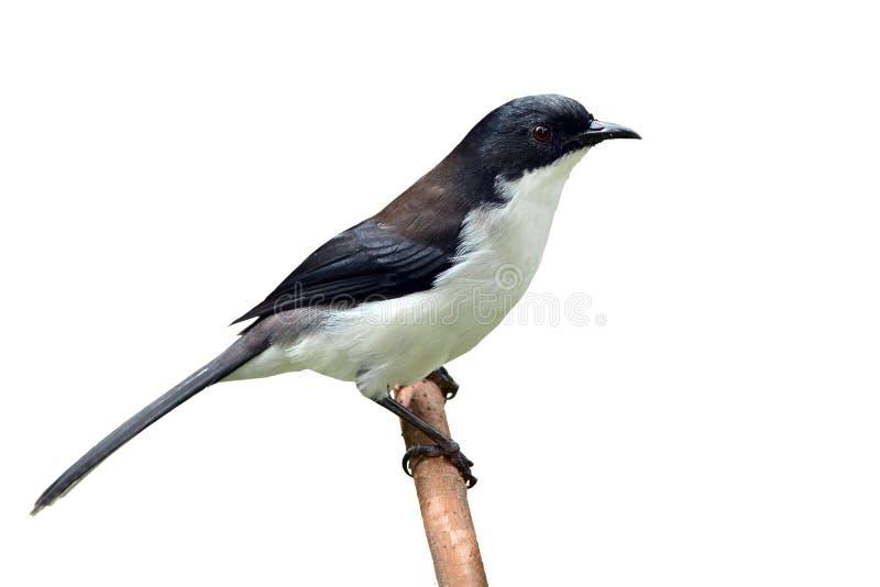 oiseau soutenu par foncé de Sibia images stock
