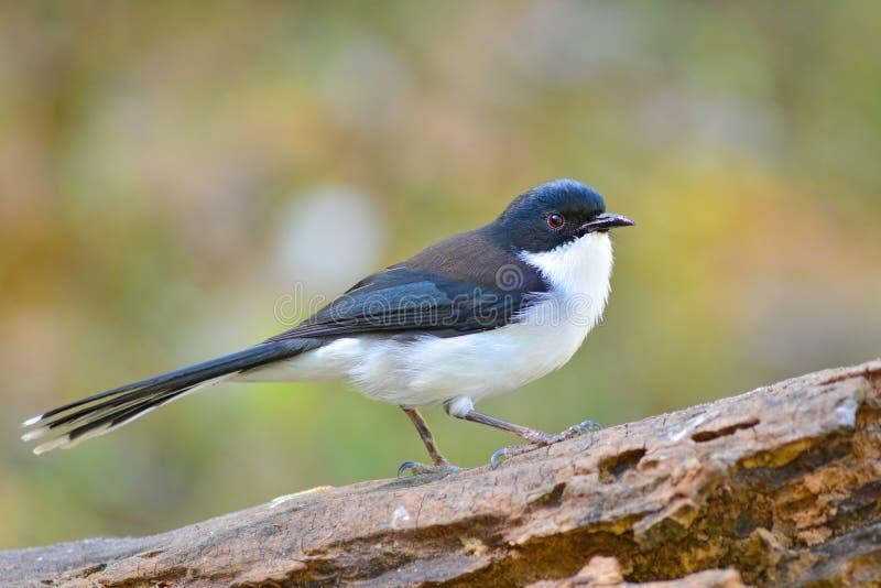 oiseau soutenu par foncé de Sibia image stock