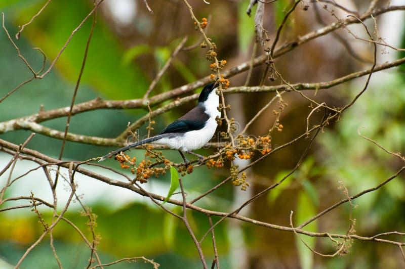 oiseau soutenu par foncé de Sibia avec le fond vert image stock