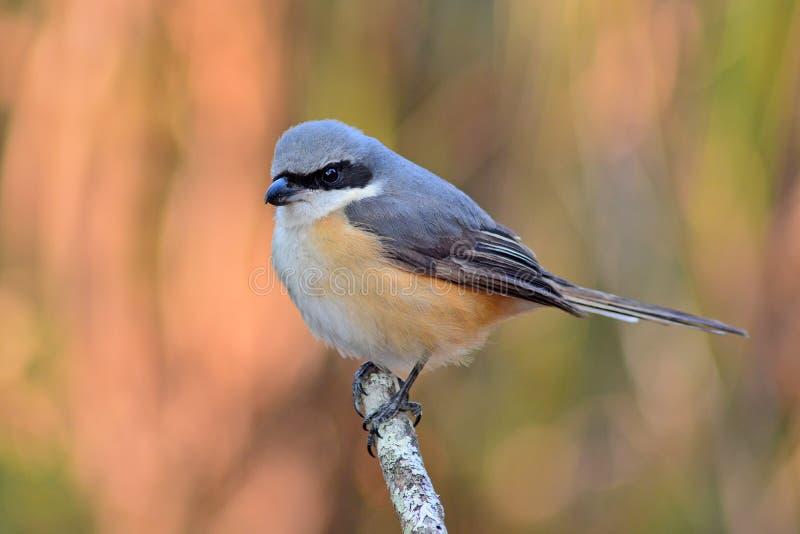 oiseau soutenu par gris de pie-grièche images stock
