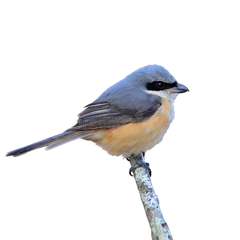 oiseau soutenu par gris de pie-grièche photo libre de droits