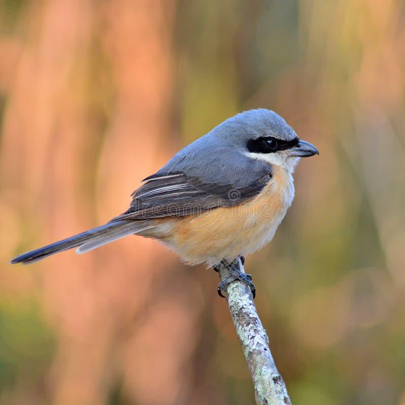 oiseau soutenu par gris de pie-grièche photographie stock