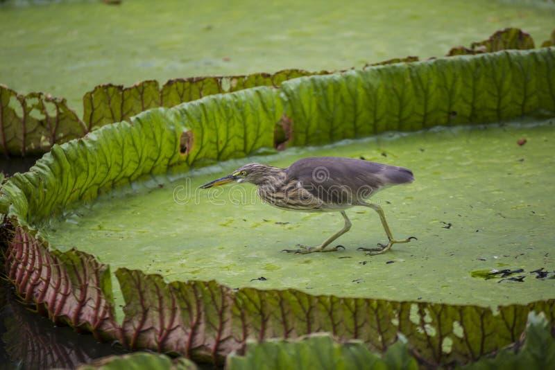Oiseau sur des feuilles d'amazonica de Victoria dans l'étang images libres de droits