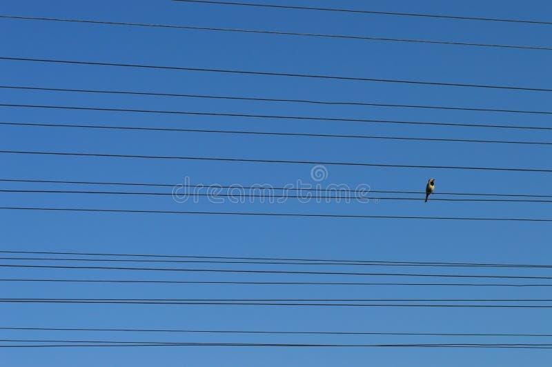 Oiseau sur des fils photo libre de droits