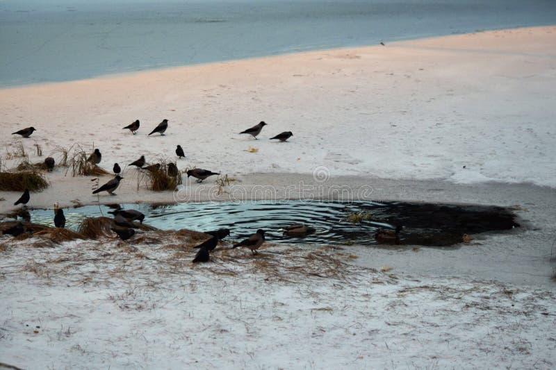 Oiseau sur le rivage du lac d'hiver photographie stock libre de droits