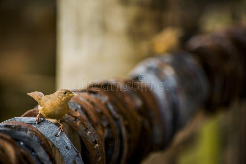 Oiseau sur Rusty Horseshoes image libre de droits