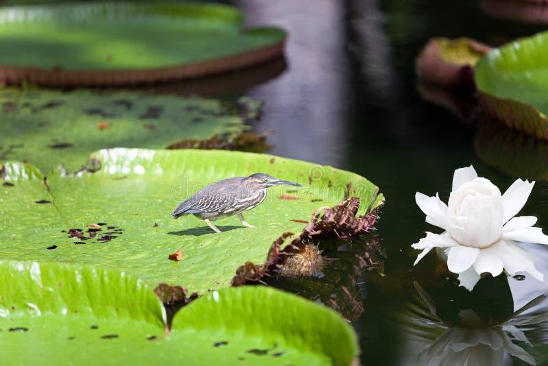Oiseau sur un amazonica de Victoria de lame. Regia de Victoria photographie stock