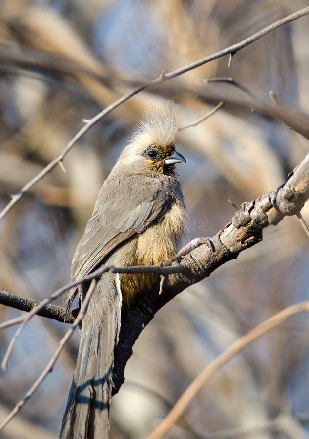 Oiseau tacheté de souris dans le buisson image libre de droits