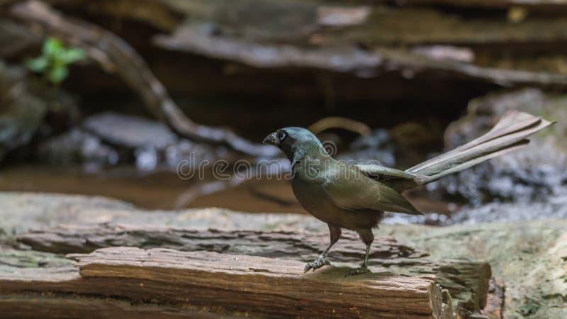 Oiseau (Treepie Raquette-coupé la queue) dans un sauvage image stock