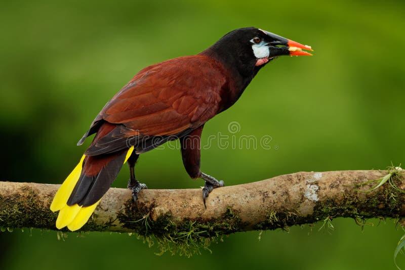 Oiseau tropical d'icterid de montezuma de Montezuma Oropendola - de Psarocolius Il est dans les plaines côtières des Caraïbes, Me photographie stock libre de droits