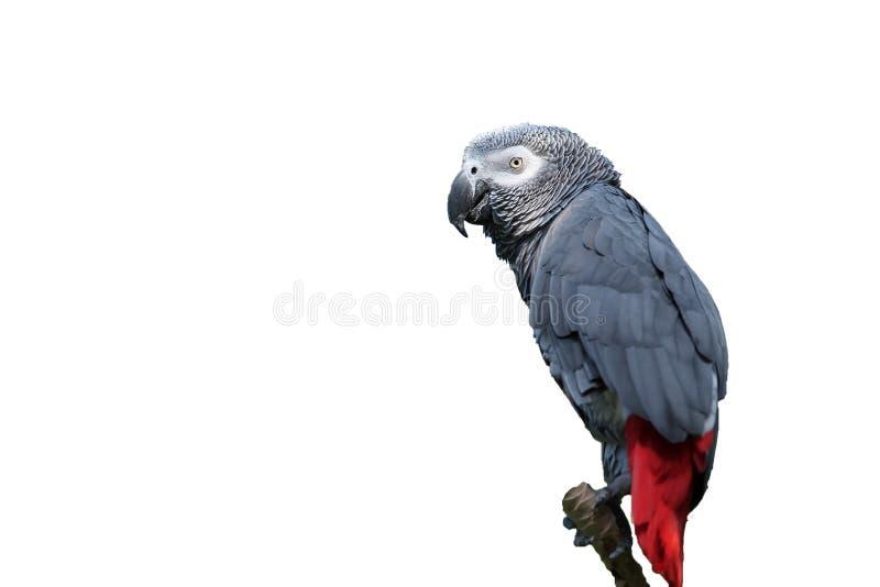 Oiseau tropical de perroquet de gris africain photographie stock