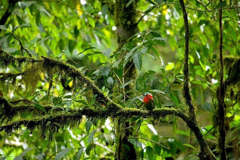 Oiseau tropical rouge images libres de droits