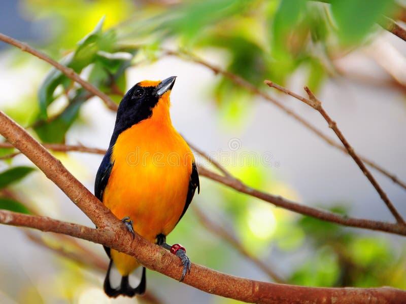 oiseau Velours-affronté d'Euphonia photographie stock libre de droits