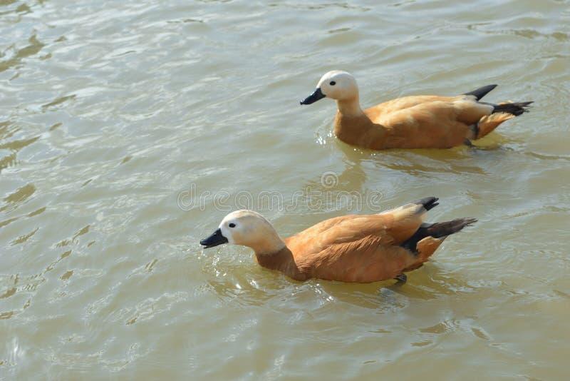 Oiseau vermeil de canard de tadorne photographie stock