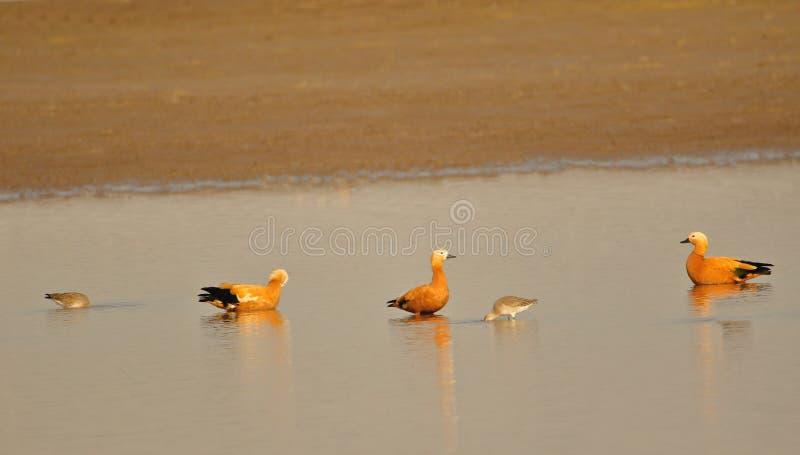 Oiseau vermeil de tadorne photo stock