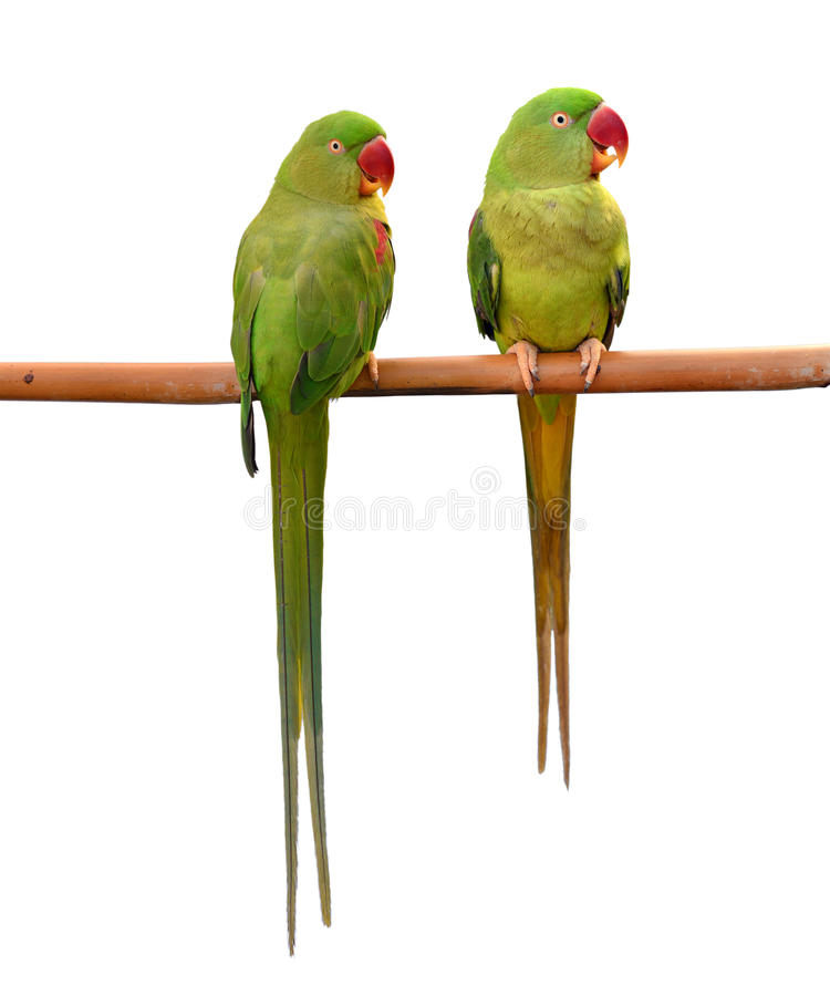Oiseau vert de perroquet image libre de droits