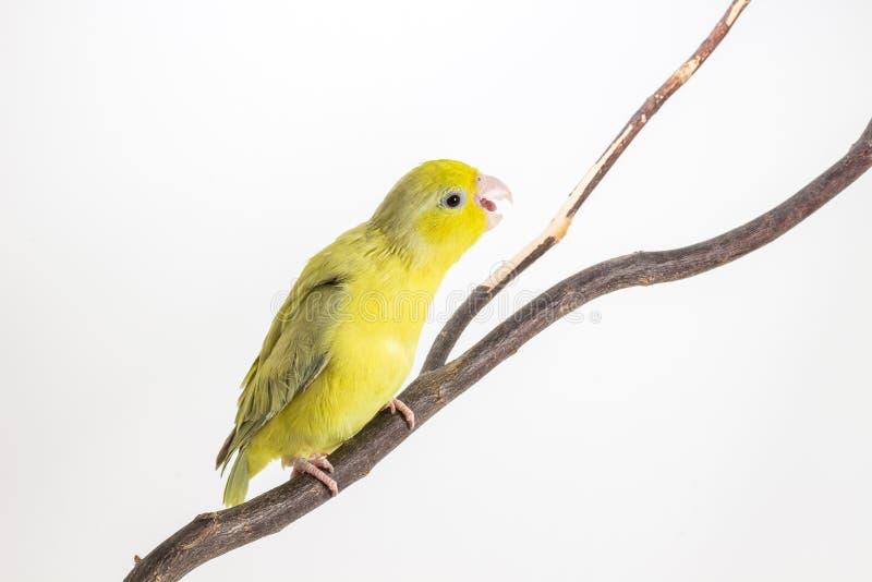 Download Oiseau Vert En Pastel De Forpus Photo stock - Image du oiseau, blanc: 87709356