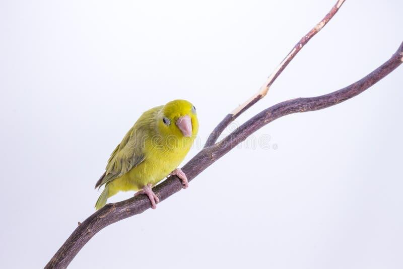 Download Oiseau Vert En Pastel De Forpus Photo stock - Image du animal, jaune: 87709400
