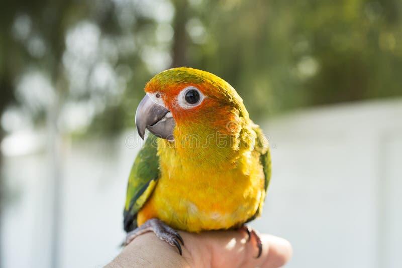 Oiseau vert mignon sur le doigt, perroquet sur le doigt, conu de Sun de perroquet photos libres de droits