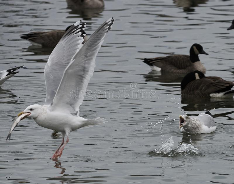 Oiseau volant des poissons à partir d'un autre oiseau images stock