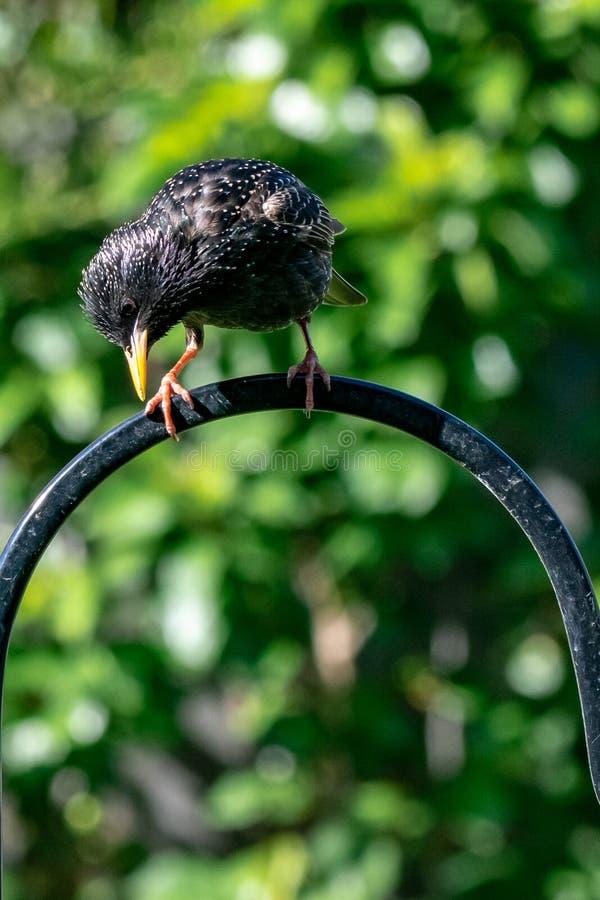 Oiseau vulgaris de jardin de Starling Sturnus été perché sur le conducteur urbain de faune images libres de droits