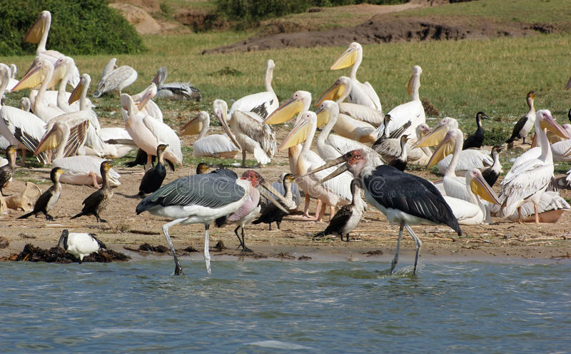 Oiseaux à la Reine Elizabeth National Park en Ouganda image libre de droits