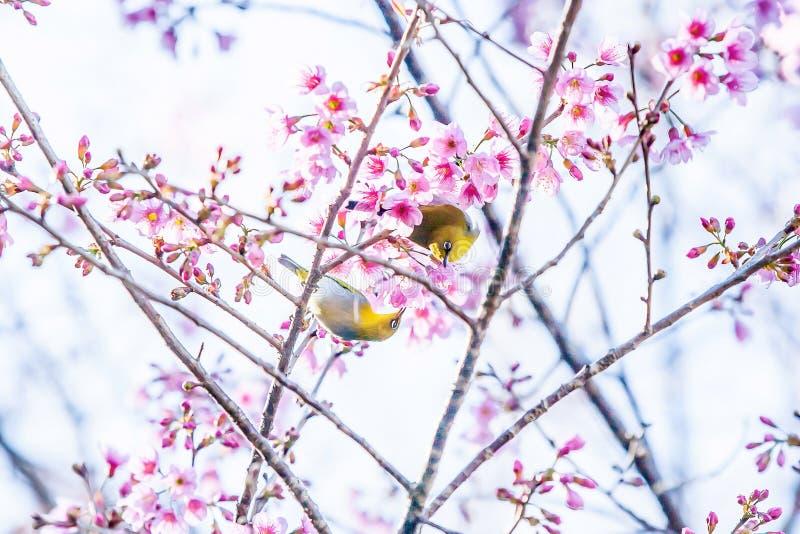 Oiseaux adorables de couples joignant dans les branches de la cerise de Sakura Fleurs roses en pleine floraison Fleur de source image stock