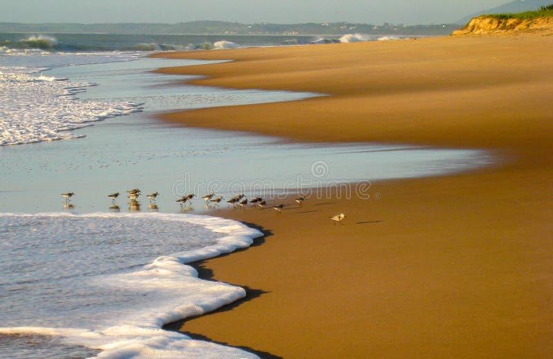 Oiseaux alimentant à l'aube sur la plage de Cavaleiros, Brésil images stock