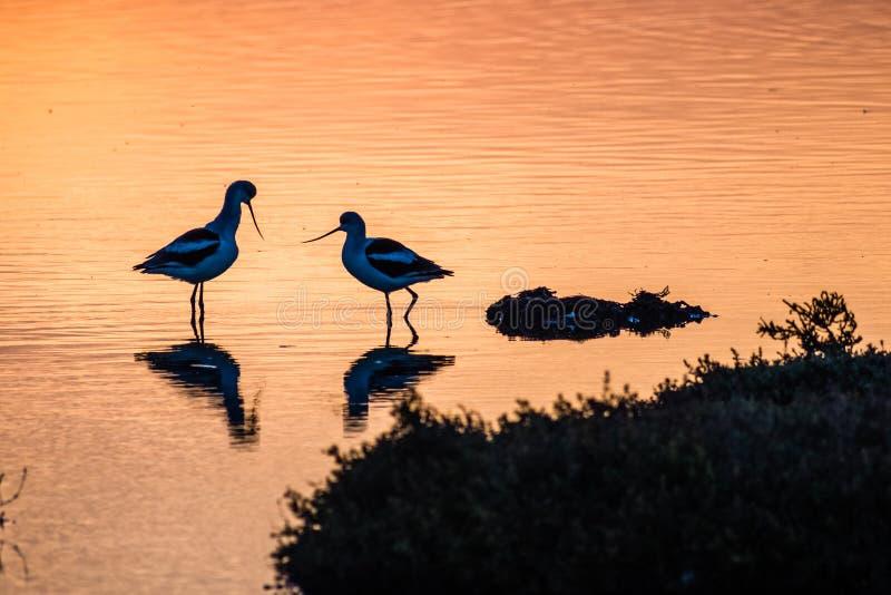 Oiseaux américains d'avocette au coucher du soleil dans les marais de marée d'Alviso, réserve de Don Edwards San Francisco Bay Na photographie stock libre de droits