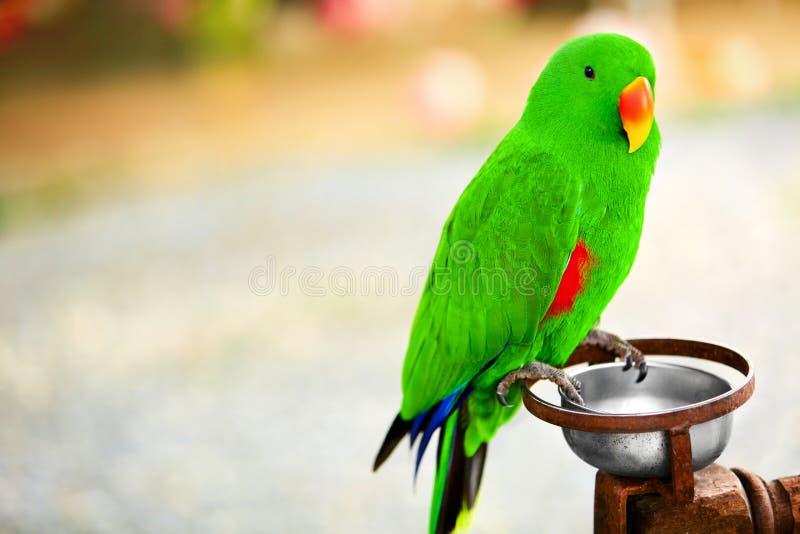Oiseaux, animaux solomon de perroquet d'île d'eclectus Voyage, tourisme photographie stock